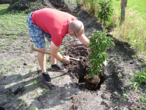 Unser Apfelbaum zieht auf dem Grundstück ein