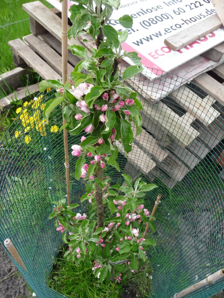 Übrigens: Unser Apfelbaum im Garten blüht schon